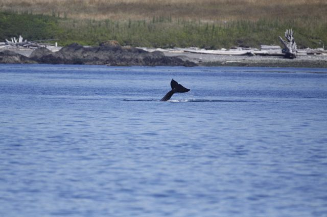 Orcas off Lime Kiln Point