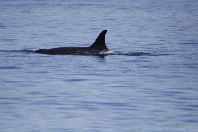 Orcas off of Lime Kiln Point