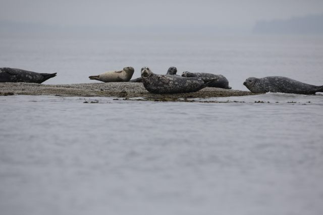 Seals north of Sucia