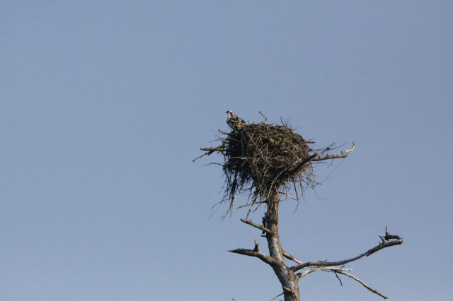 Osprey nest on Stuart Island
